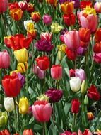 colorful tulips on a meadow