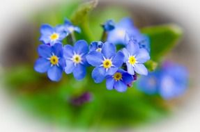 blue spring flowers on a blurred background