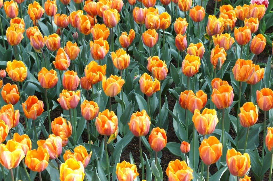 orange tulips in Keukenhof park, Netherlands