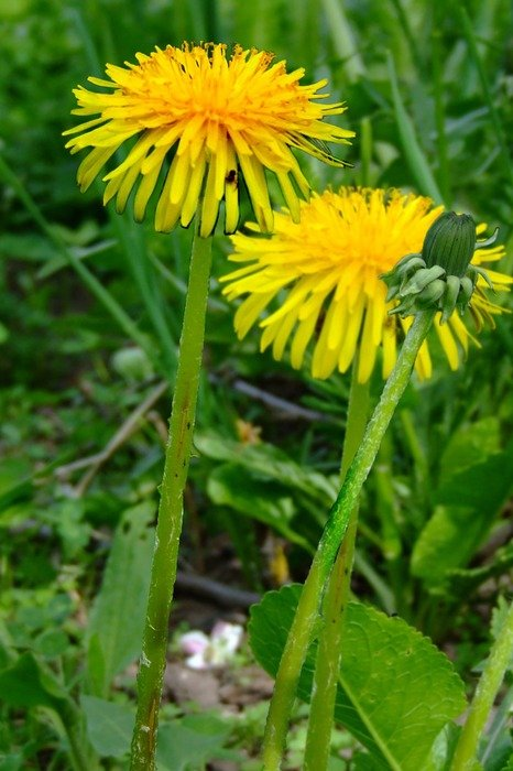 sow thistle in summer