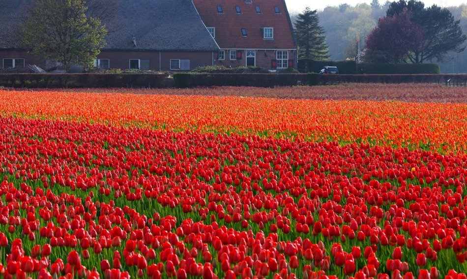 field of red orange tulips netherlands