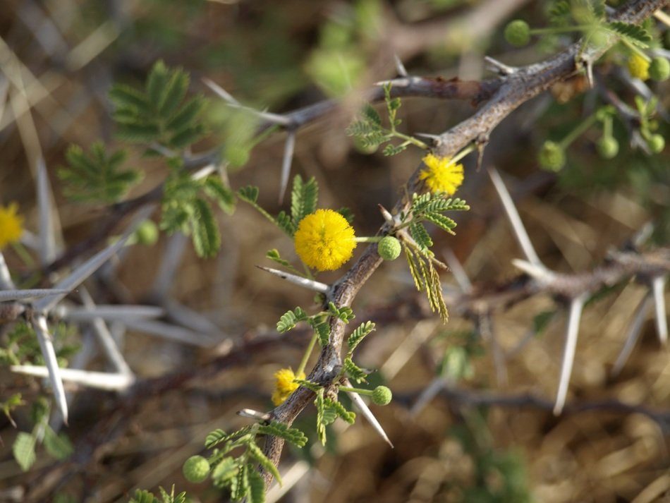 thorns with yellow flowers