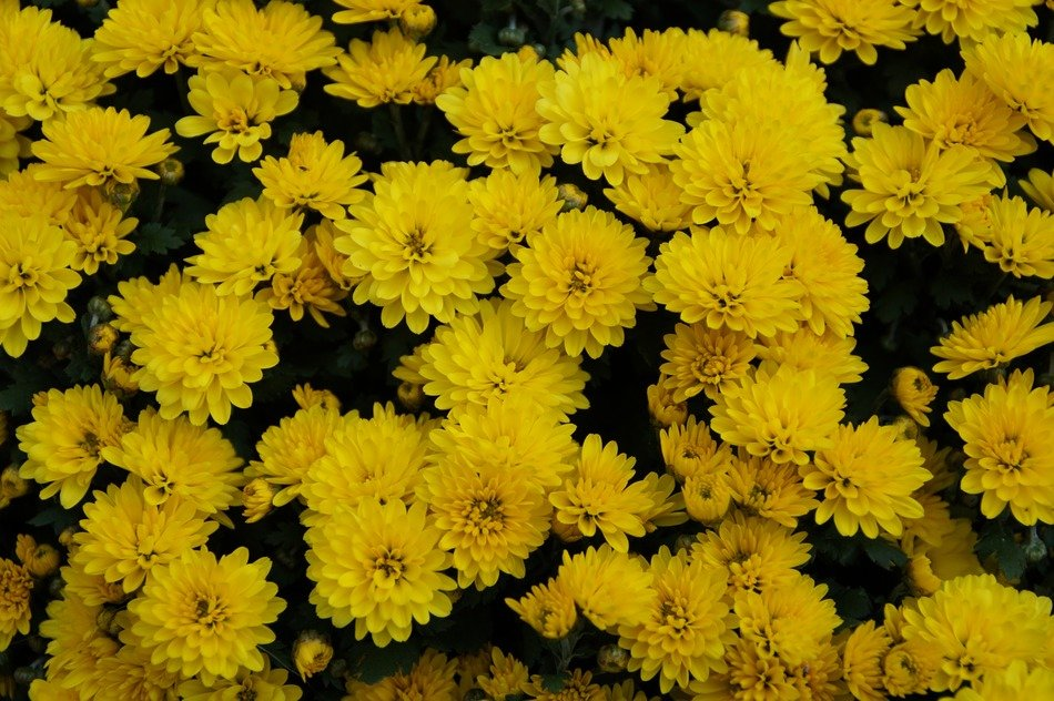yellow flowers bush