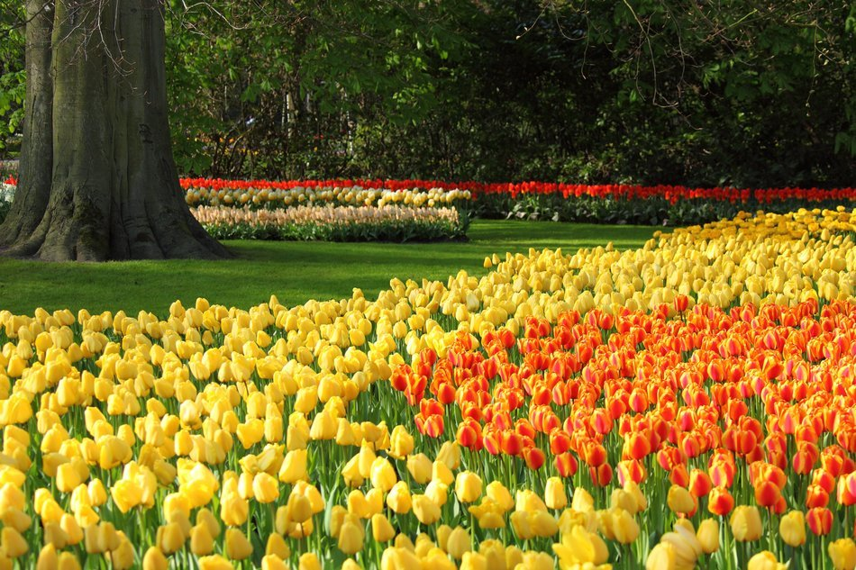 yellow and orange tulips on the flowerbed