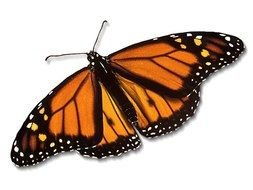 monarch butterfly orange