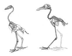 drawn two skeletons of birds
