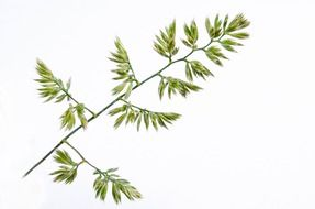 meadow plant on a white background