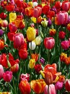 colorful meadow of tulips