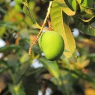 mango trees fruits greenery leaves