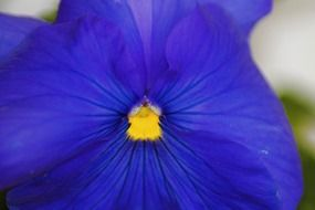 pansy flower flowers blue plant