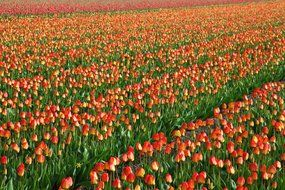 red tulips in the garden in Holland