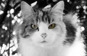 black and white picture of a domestic cat