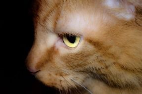 wallpaper with profile portrait of a red cat