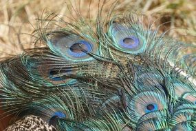 exotic peacock feathers tail