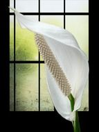 Spathiphyllum on a background of a window