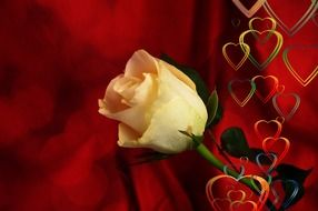 romantic background with white rose