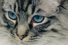 portrait of an adorable cat with blue eyes