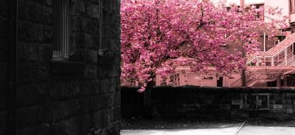 spring tree in pink flowers