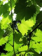vine leaves in sunny summer day