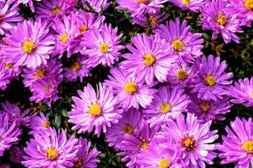 background of purple asters