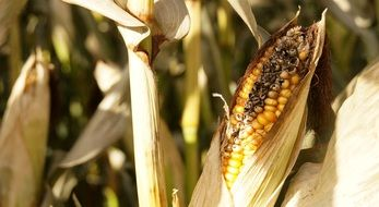 ripe corn grain on the cob in autumn