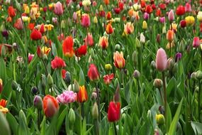 beautiful flowers colorful bloom tulips