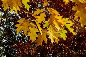 yellow oak leaves in autumn