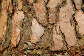 pine bark background