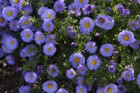 blue aster in the flowerbed