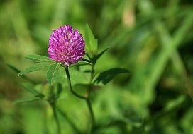 clover meadow plant red green