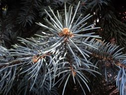 branch of blue spruce