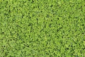 green clover in spring