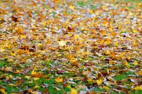 yellow autumn leaves on ground