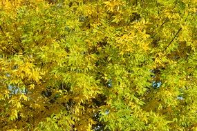 bright yellow leaves of a tree in autumn