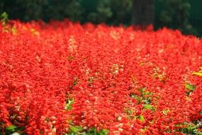 red flower meadow