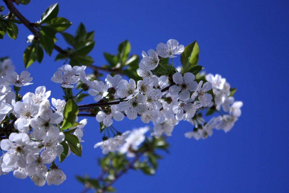 white flowers of cherry blue background