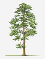 painted green pine on a white background