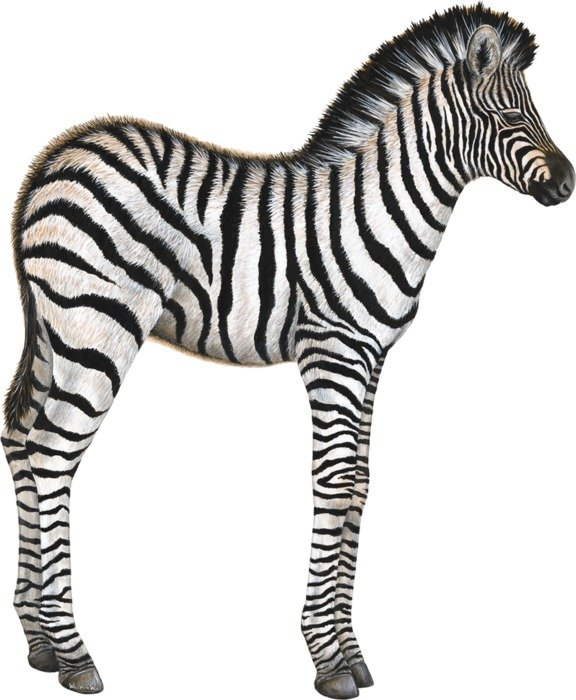 image of a zebra with long legs