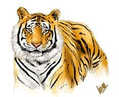 Drawing of Bengal Tiger