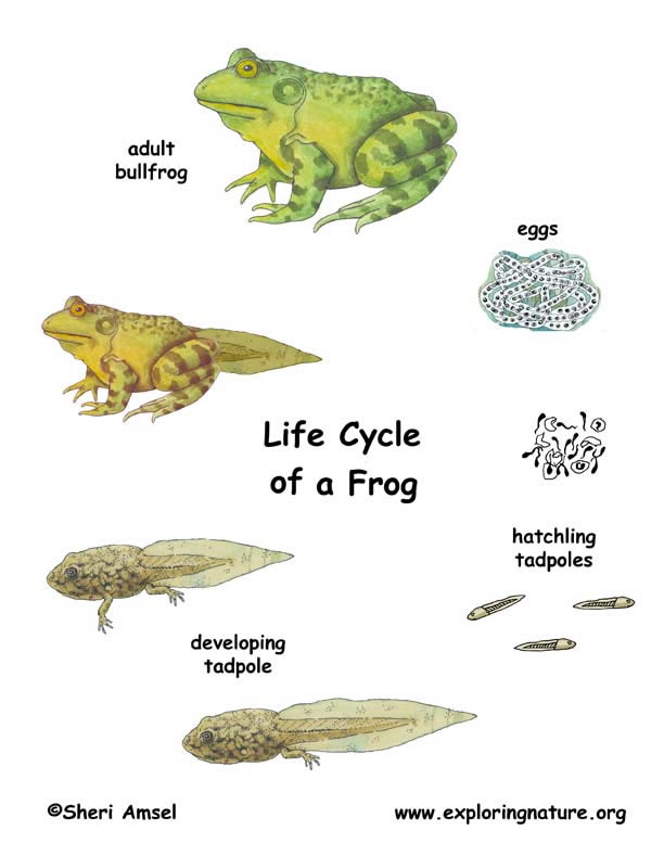 painted life cycle of a frog