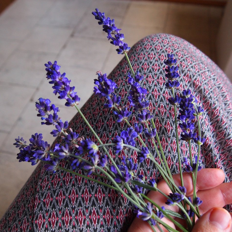 sprigs of lavender in the hands of a woman