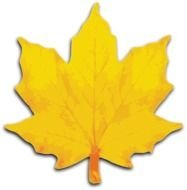 isolated yellow maple leaf