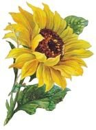 Vintage Sunflower Clip Art drawing