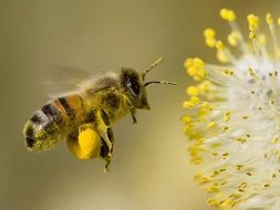 honey bee flies to a honey flower