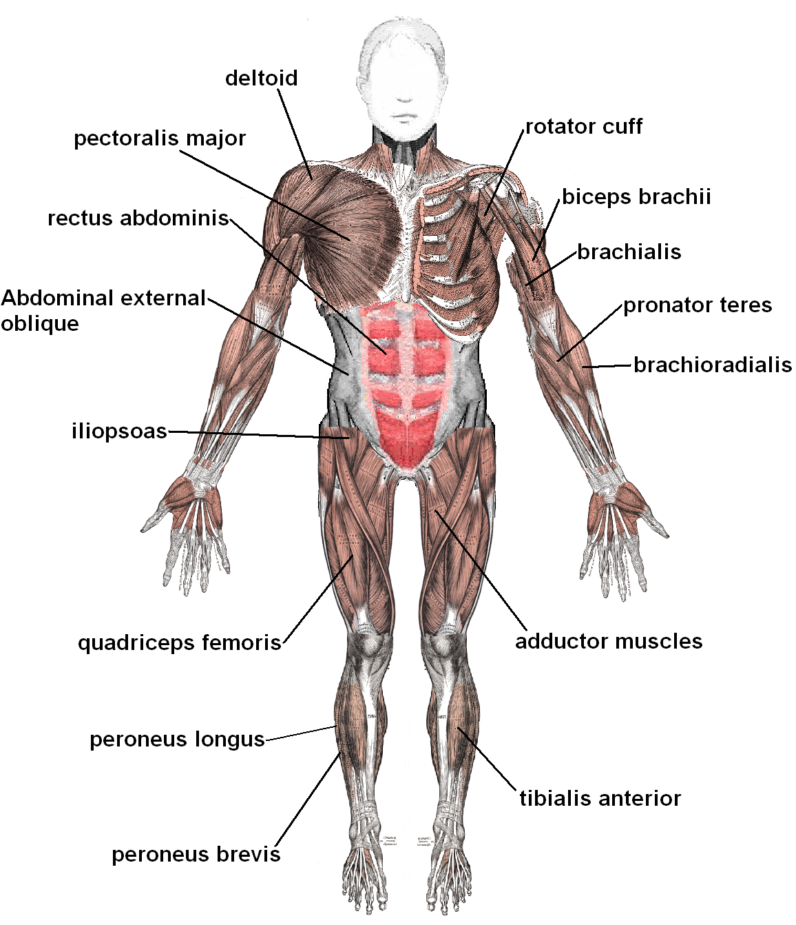 Human Muscles Diagram Labeled N2 Free Image