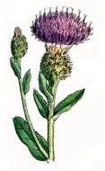 Colorful blooming thistle clipart