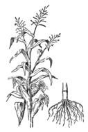 Indian Corn as a graphic illustration