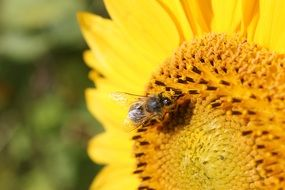 Detailed photo of sun flower and bee