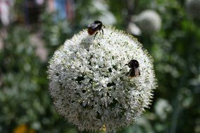 insects sit onion flowers