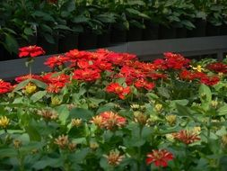 Red begonia in greenhouse
